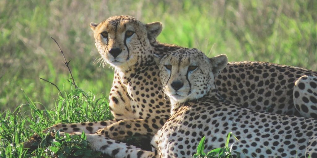 cheetah brothers lying in grass