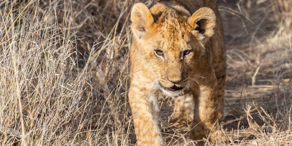 lion cub walking towards camera