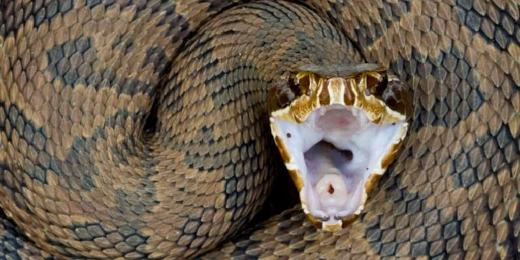 cottonmouth viper mouth and body