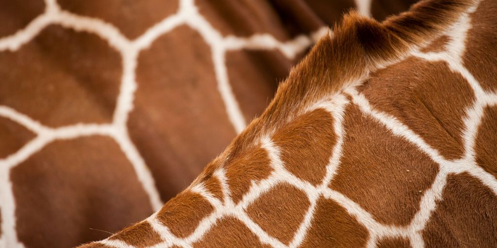 close up of giraffe skin