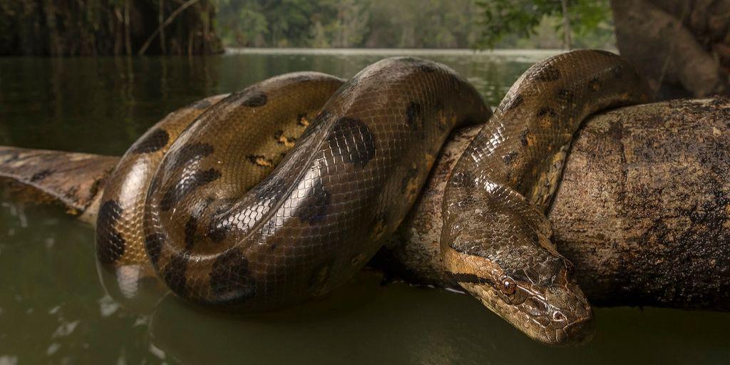 green anaconda wrapped around branch