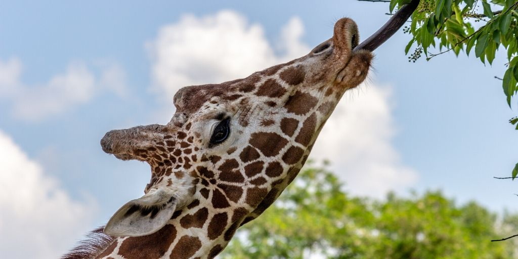 giraffe using tongue to pull foliage