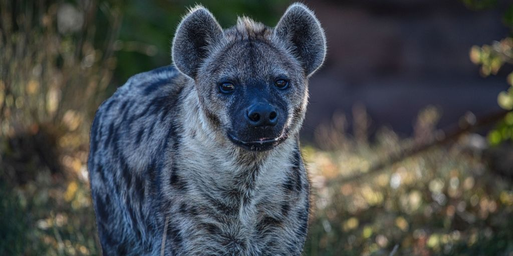 standing hyena looking at camera