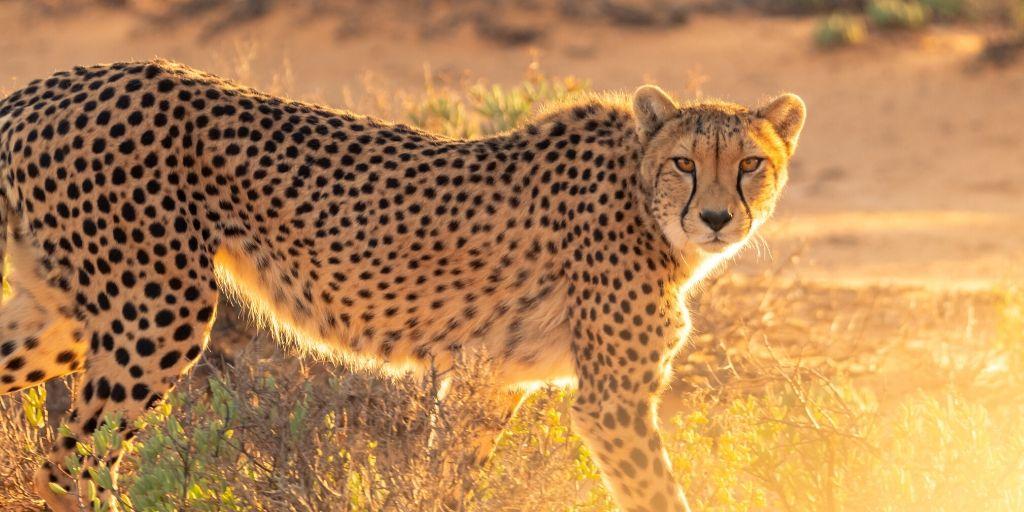 cheetak walking in the sunset