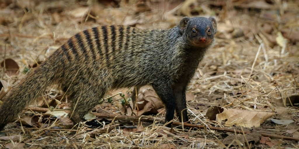 mongoose standing in scrub