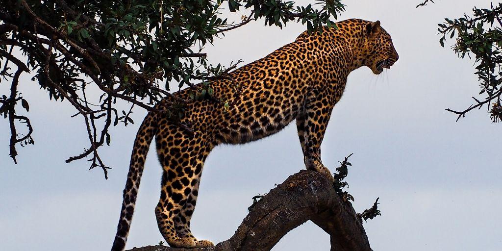 leopard standing in tree