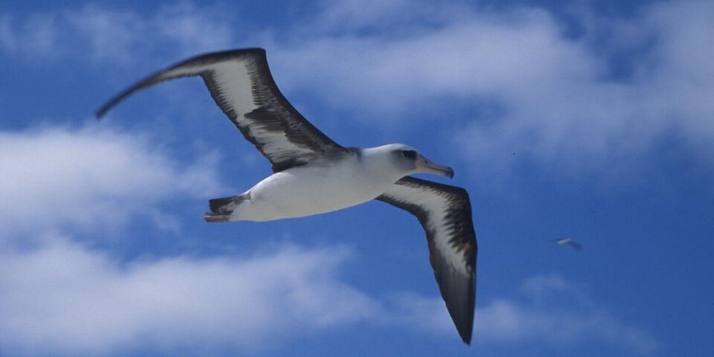largest wingspanned bird, albatross in flight