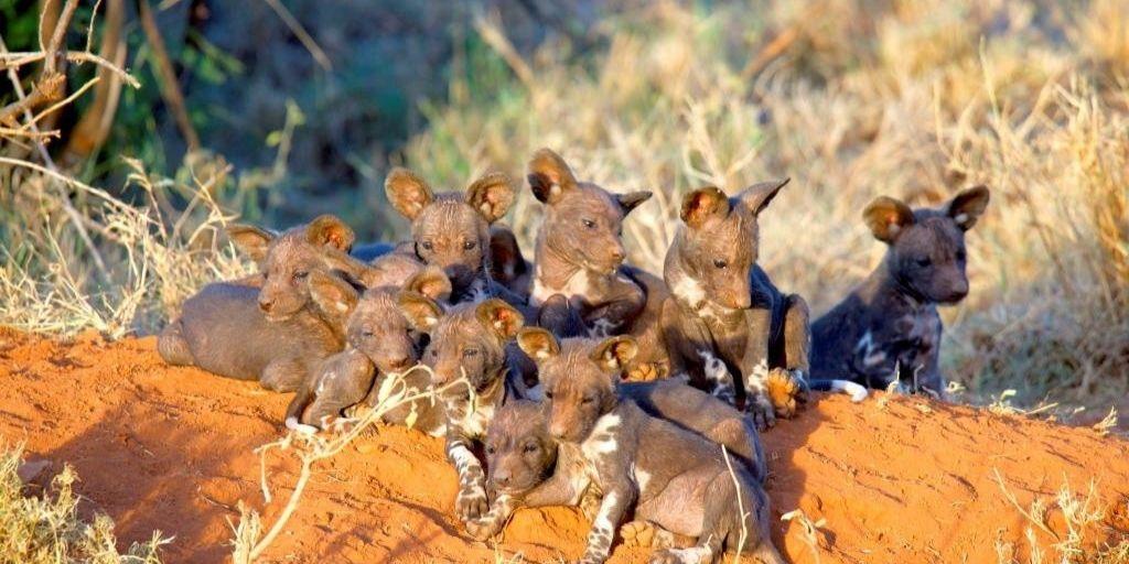 Litter of African wild dog pups