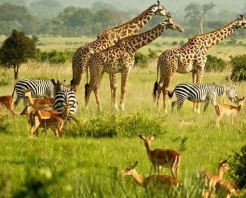 African wildlife on the green plains - vista includes giraffes, impala,