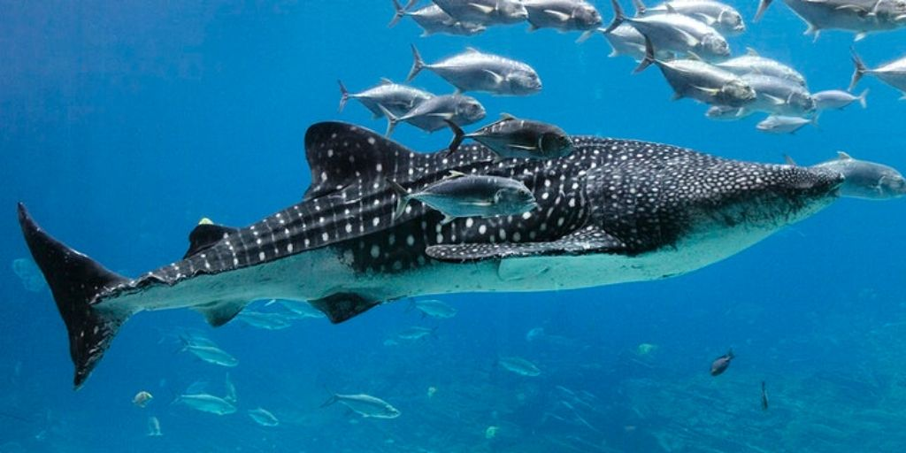 whale shark - the biggest fish in the world
