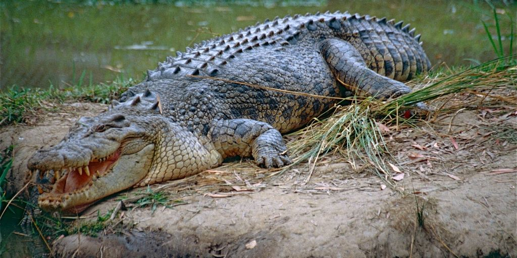 saltwater crocodile - world's biggest reptile