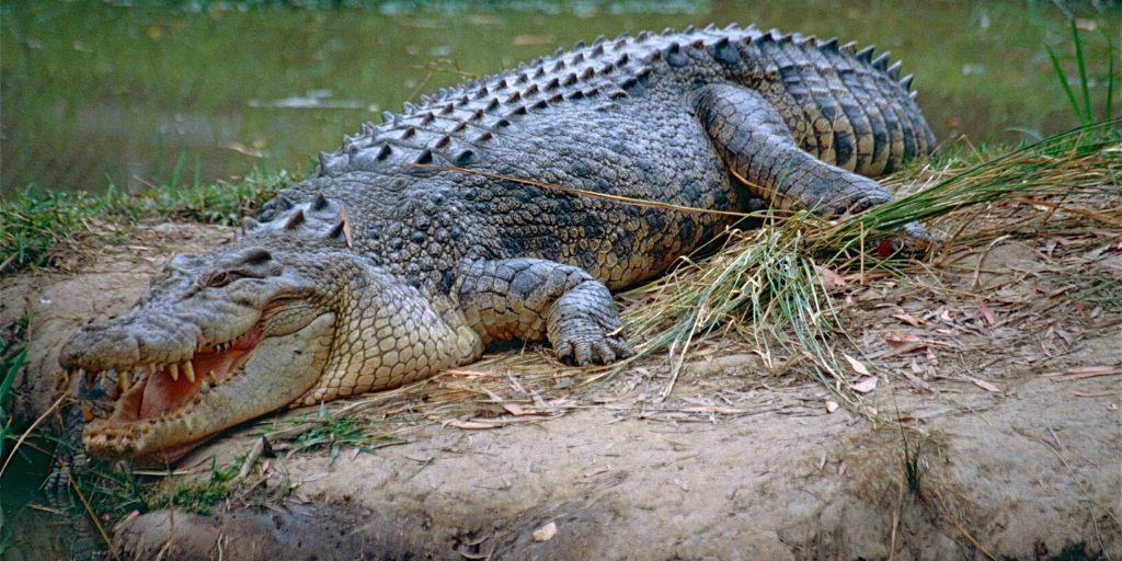 saltwater crocodile - world's biggest reptile