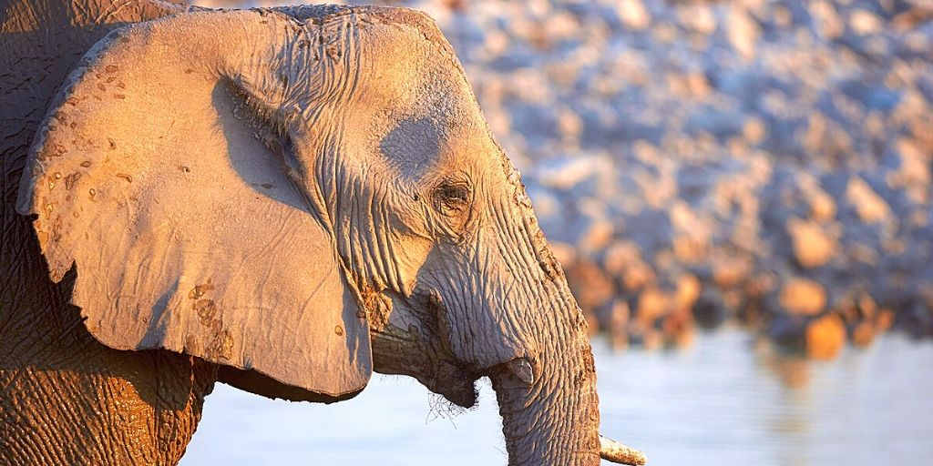 african elephant head close up with rocky background