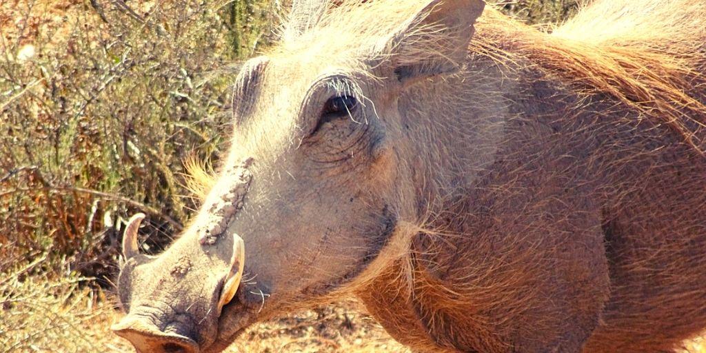 closeup of warthog