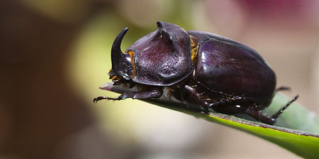 rhinoceros beetle on leaf