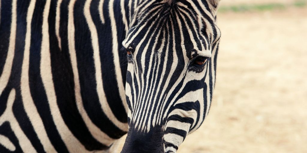 close up zebra face