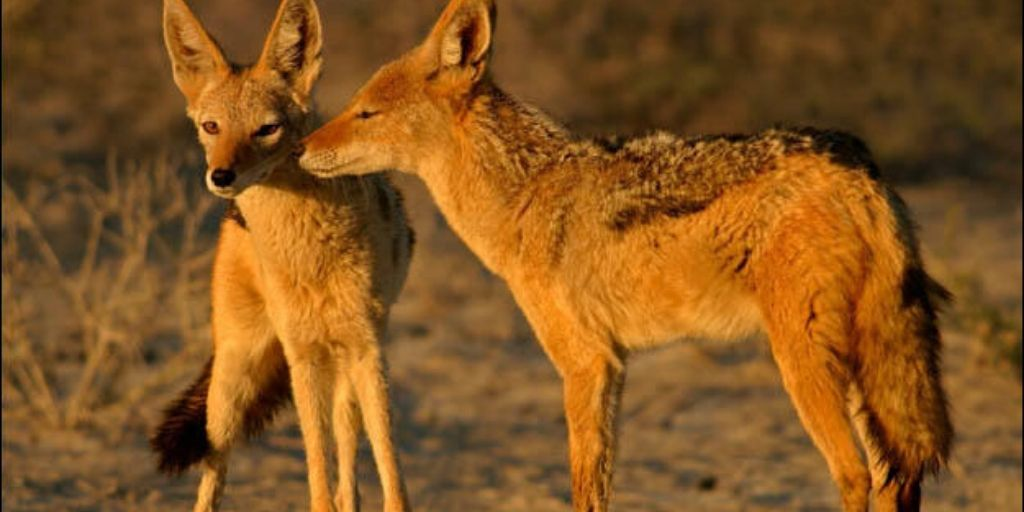 Pair of golden jackals