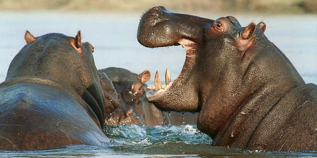 3 hippos in water