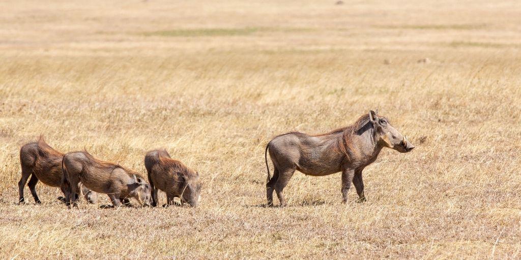warthog family in savannah