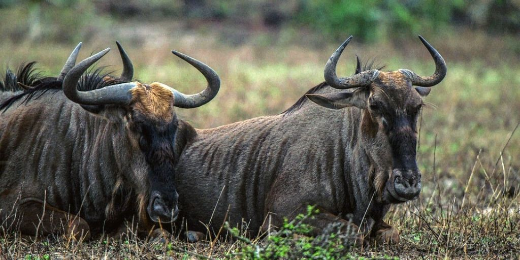 2 wildebeest lying in grass