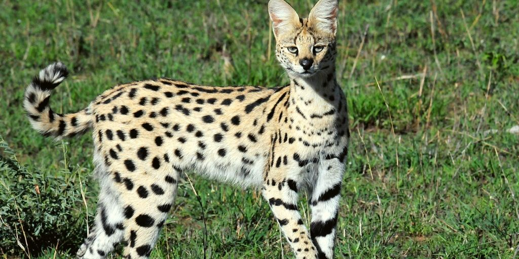 serval standing in grass