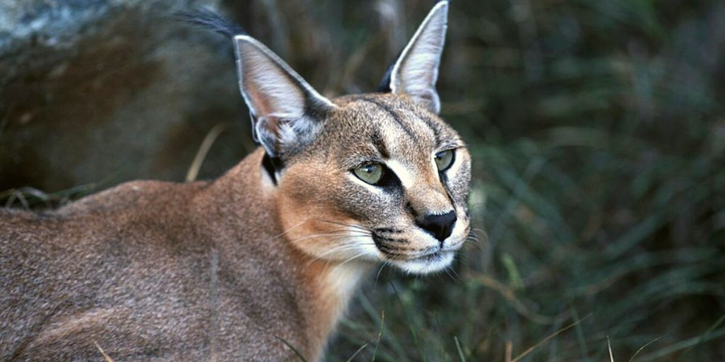 caracal close up of head