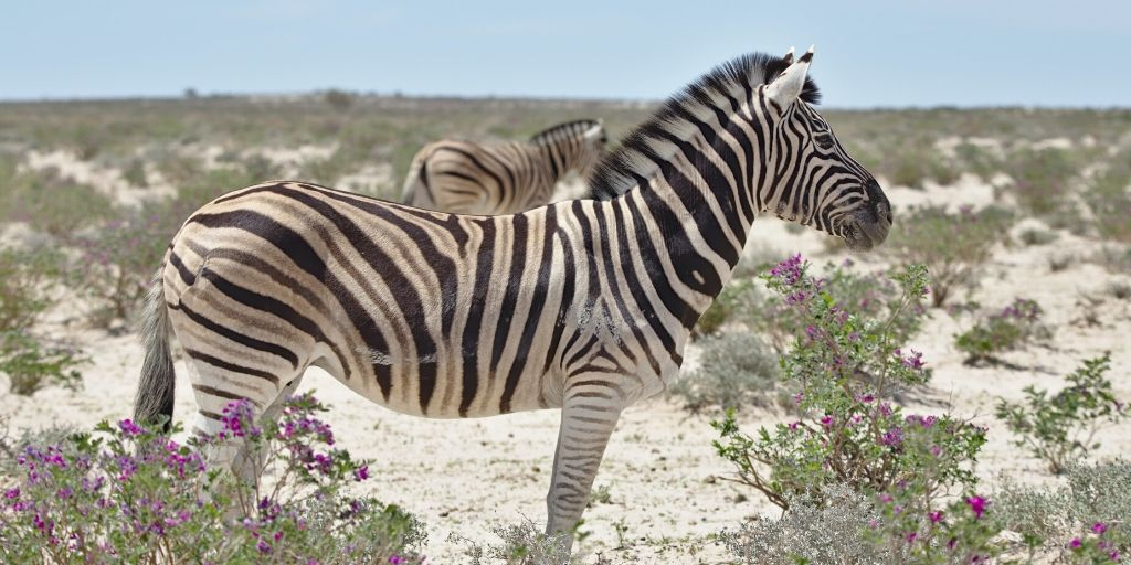 zebra side on at etosha
