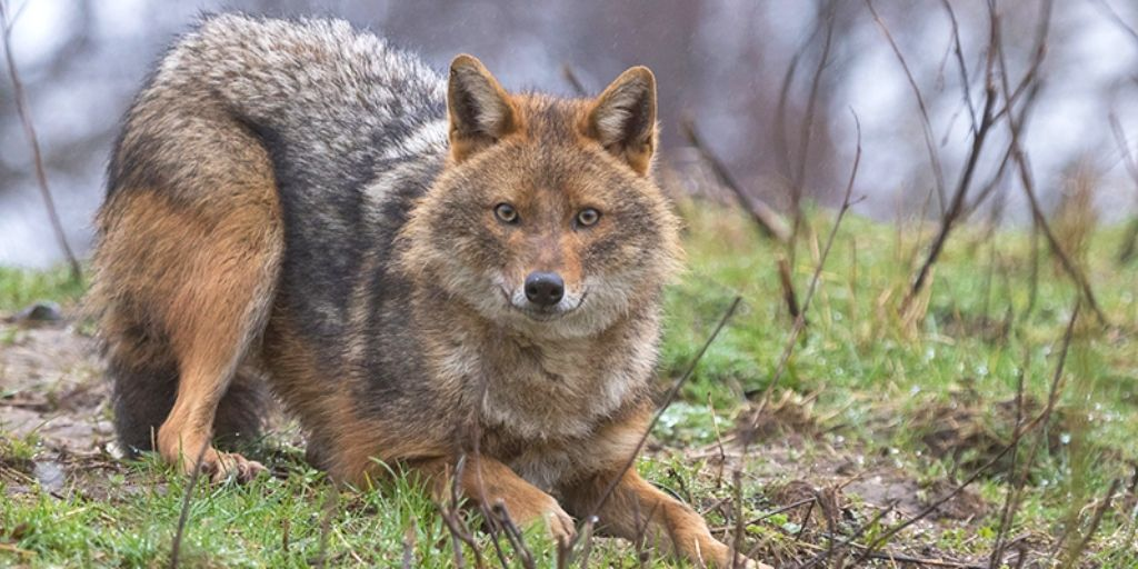 jackal in woods