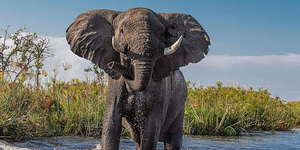 african elephant standing in water