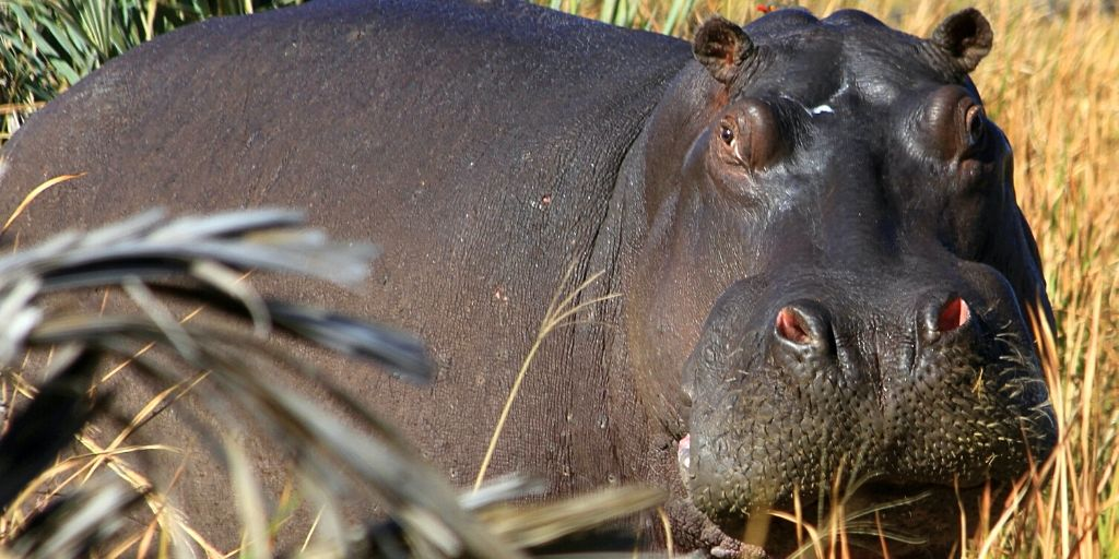 large hippo standing in reeds