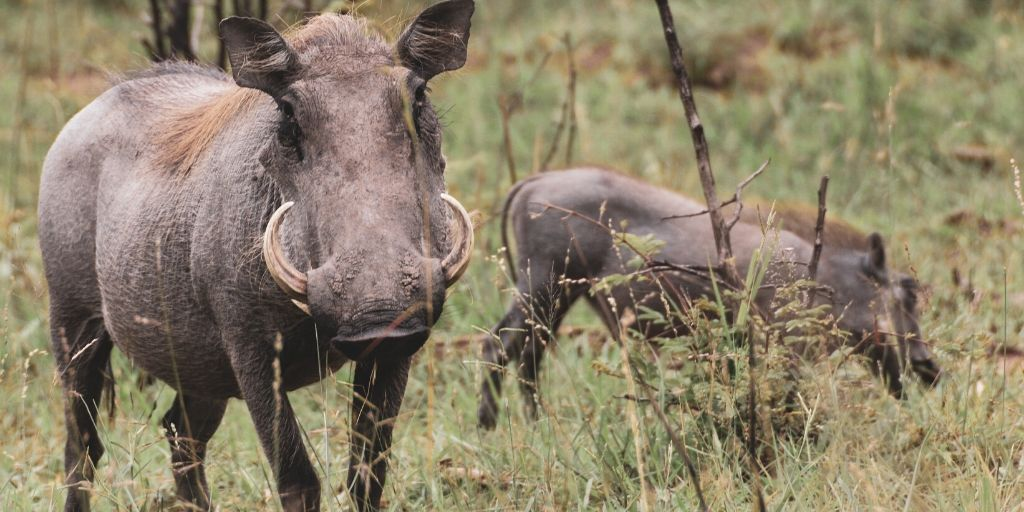 warthog family in bush