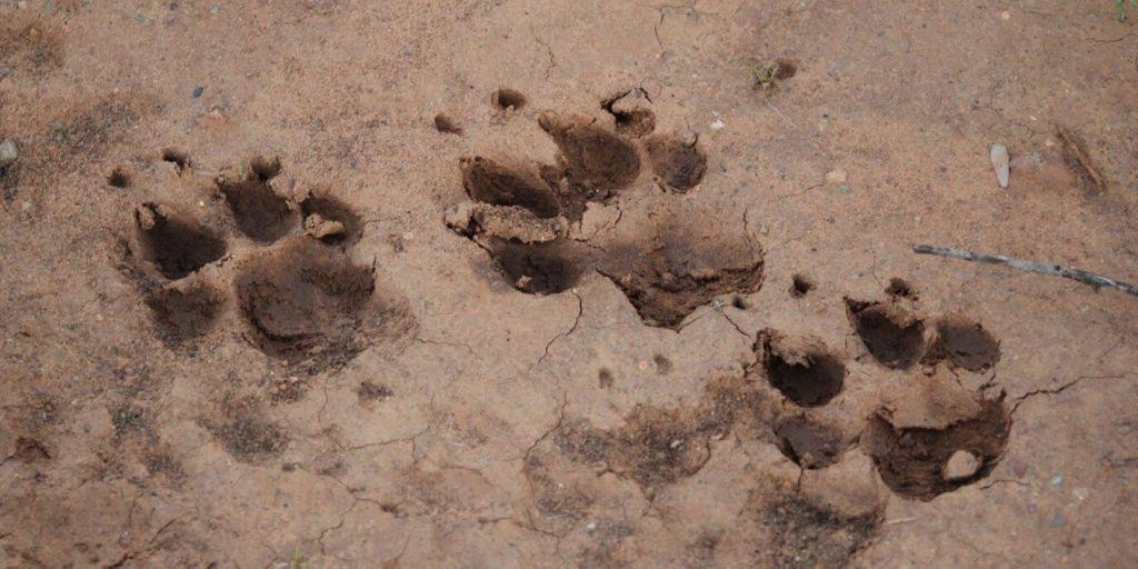 Cheetah spoor