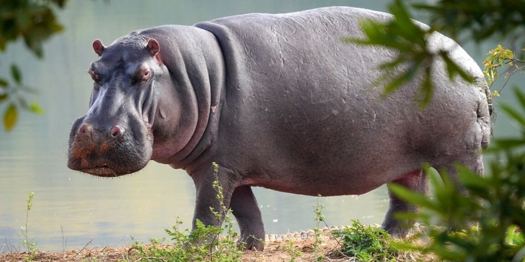 hippopotamus walking on land