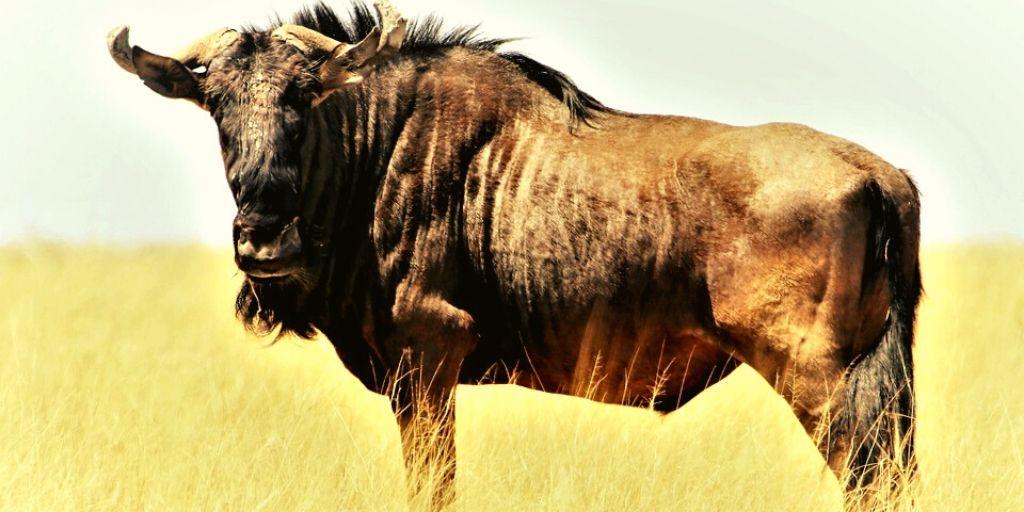 single large wildebeest in profile