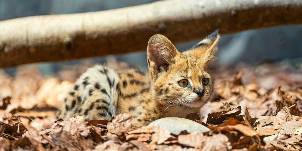 serval cub in leaves
