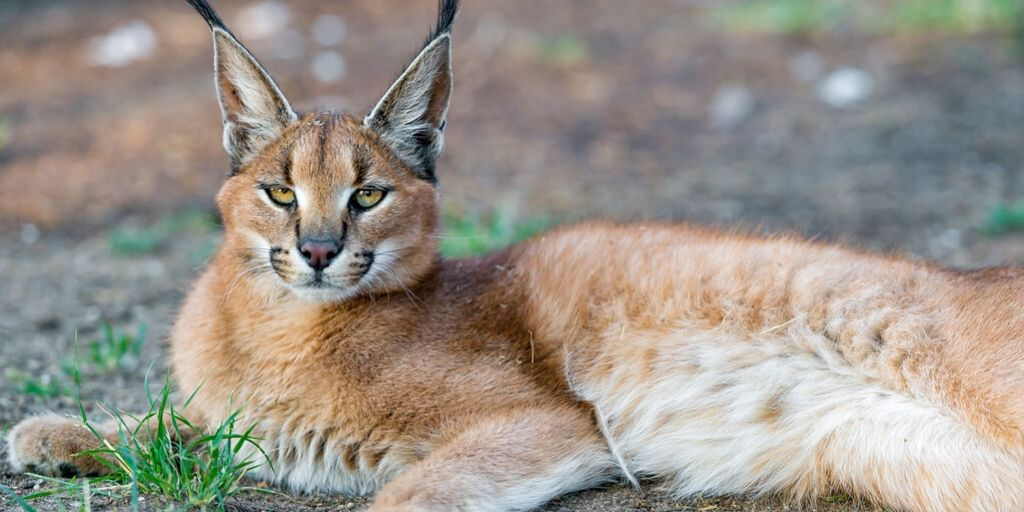 caracal lying in patchy grass