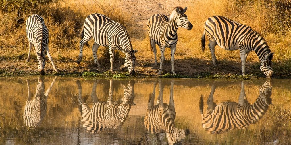 4 zebras at waterhole