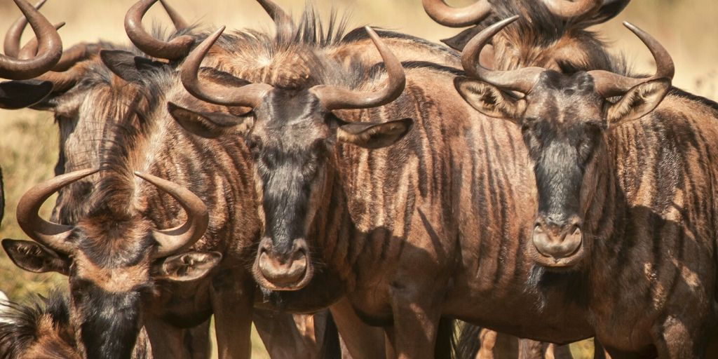 small herd of wildebeest close up