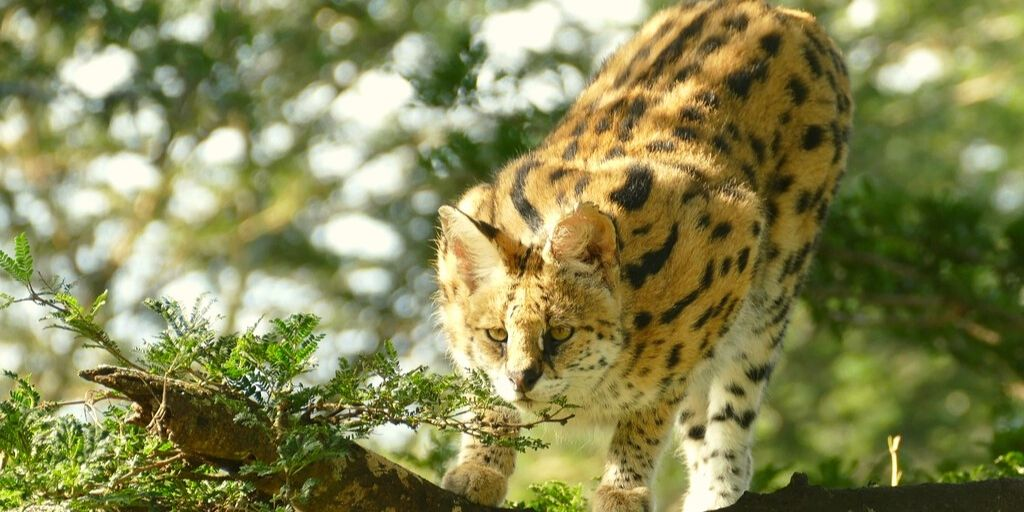 serval ready to pounce