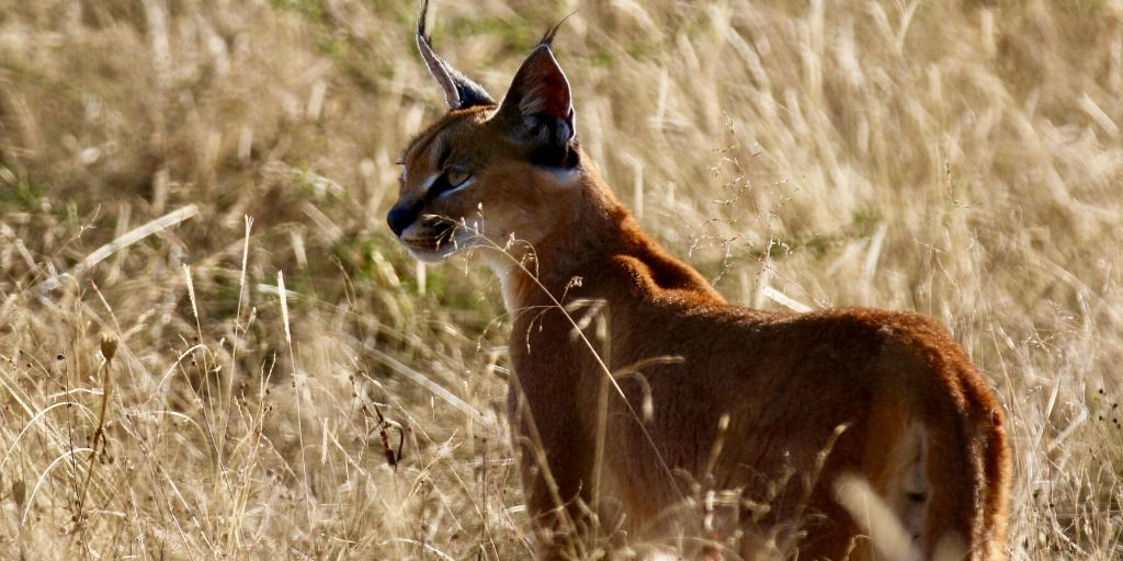 caracal standing in grass