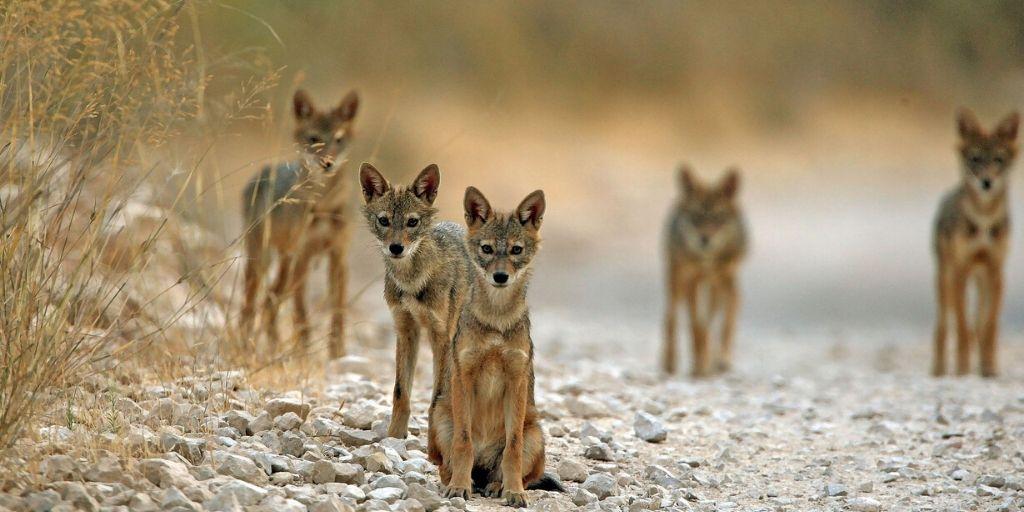 group of jackals sitting on road