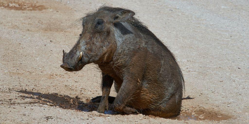warthog sitting down in mud