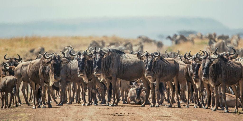 herd of wildebeest on dirt road