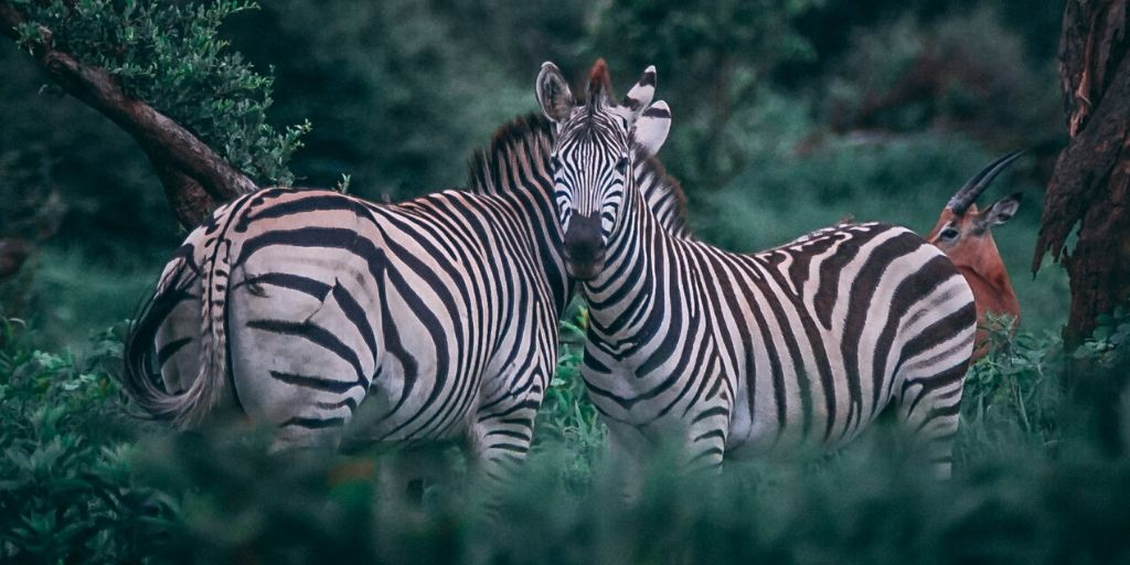 two zebra in lush green surroundings