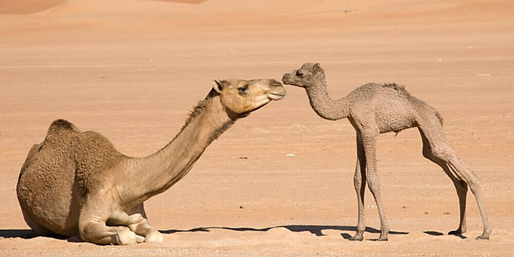 the ultimate desert animals - mother and camel foal