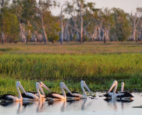 pelicans at kakadu national park, australia - the country with the most national parks in the world