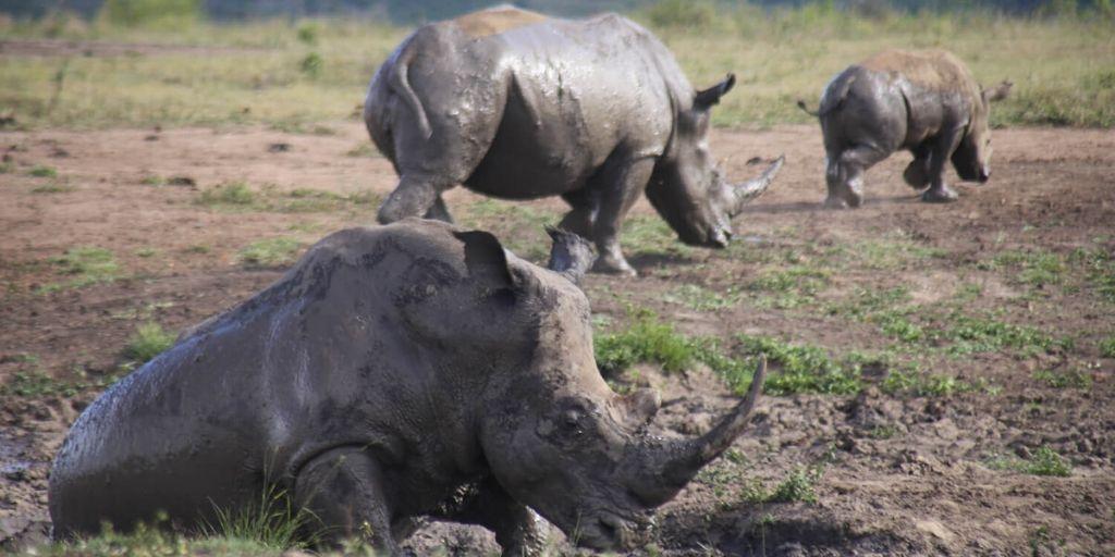 Rhino at Hluhluwe Imfolozi
