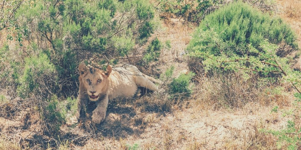 Lion in Pumba