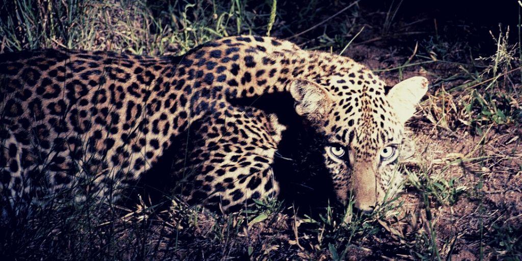 Leopard on night safari at Sabi Sands