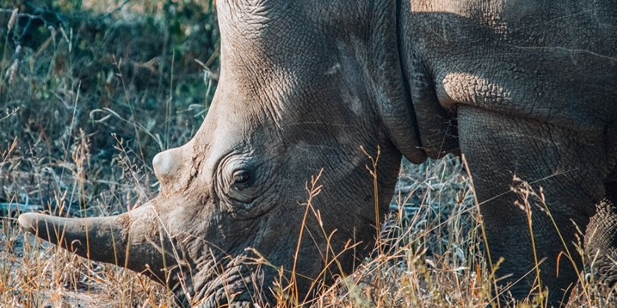 rhino eating grass at Klaserie Private Nature Reserve
